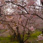 須崎市そうだ山の雪割桜が満開です♪