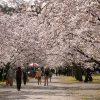 高知の桜の名所!高知まんなか地域のオススメさくらスポットPickUp♪