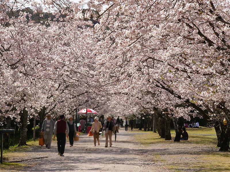 高知県 鏡野公園の桜
